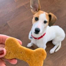 jack russell terrier eyeing homemade dog treat