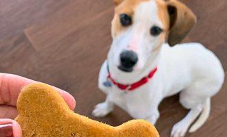 jack russell terrier eyeing homemade dog treat
